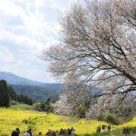 武雄馬場の山桜🤘